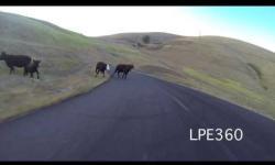 Longboard Girl Hits Cow!